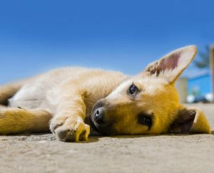 Rosin Tiergesundheit Hitzeschlag