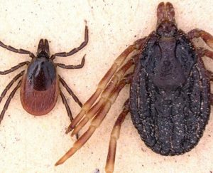 Rosin Tiergesundheit tropische Hyalomma Zecke