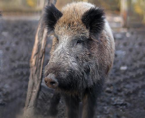 Rosin Tiergesundheit - Wildschweinbegegnung