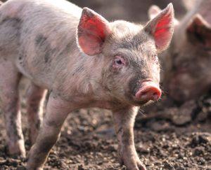 Rosin Tiergesundheit - Afrikanische Schweinepest – eine Bedrohung für Deutschlands Schweinebestände